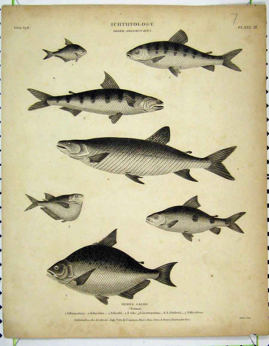 Print 1811 Ichthyology Fish Salmon Rhombeus Tumbil 216A190 Old Original