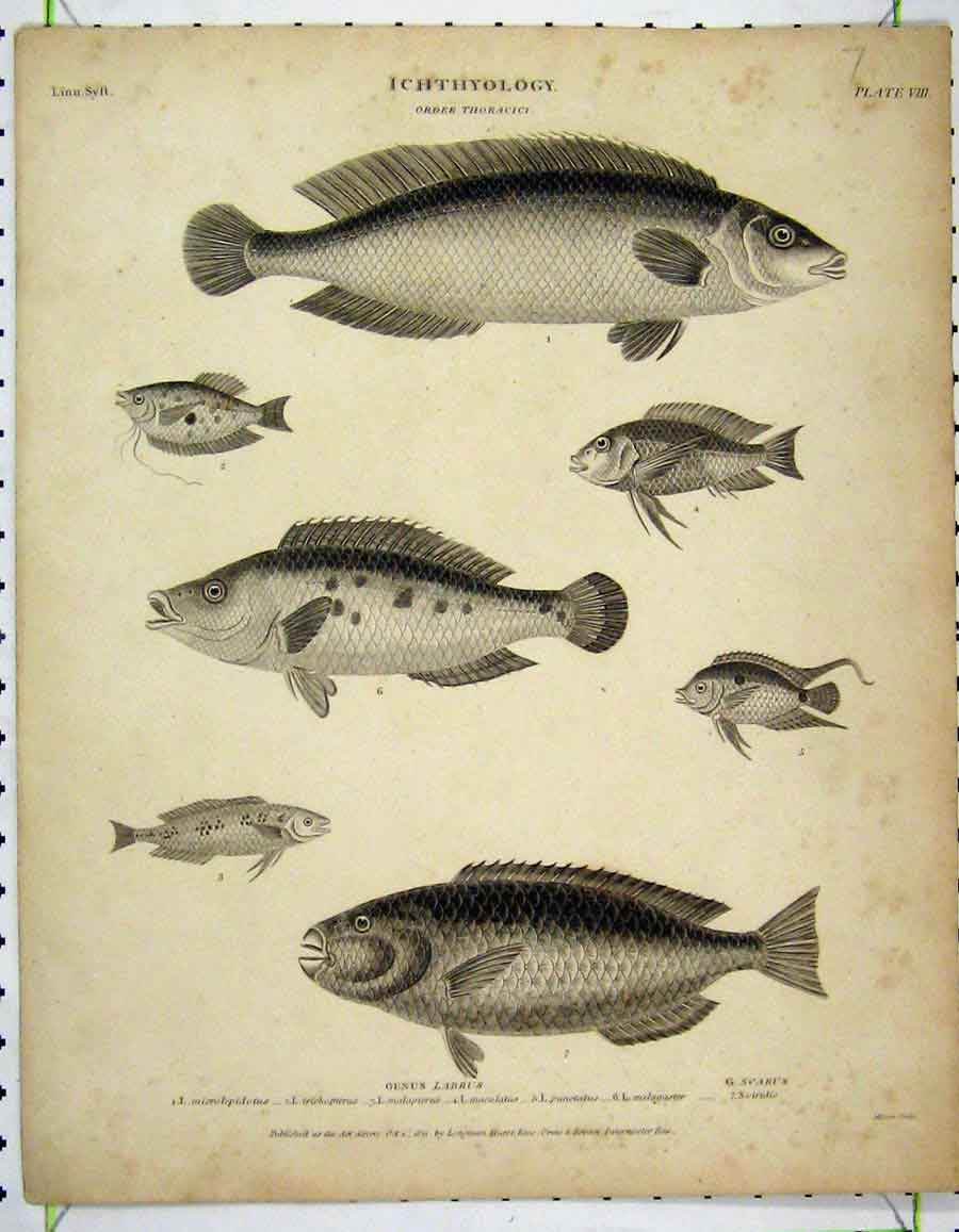 Print 1811 Fish Ichthyology Punctatus Trichopterus Labrus 217A190 Old Original