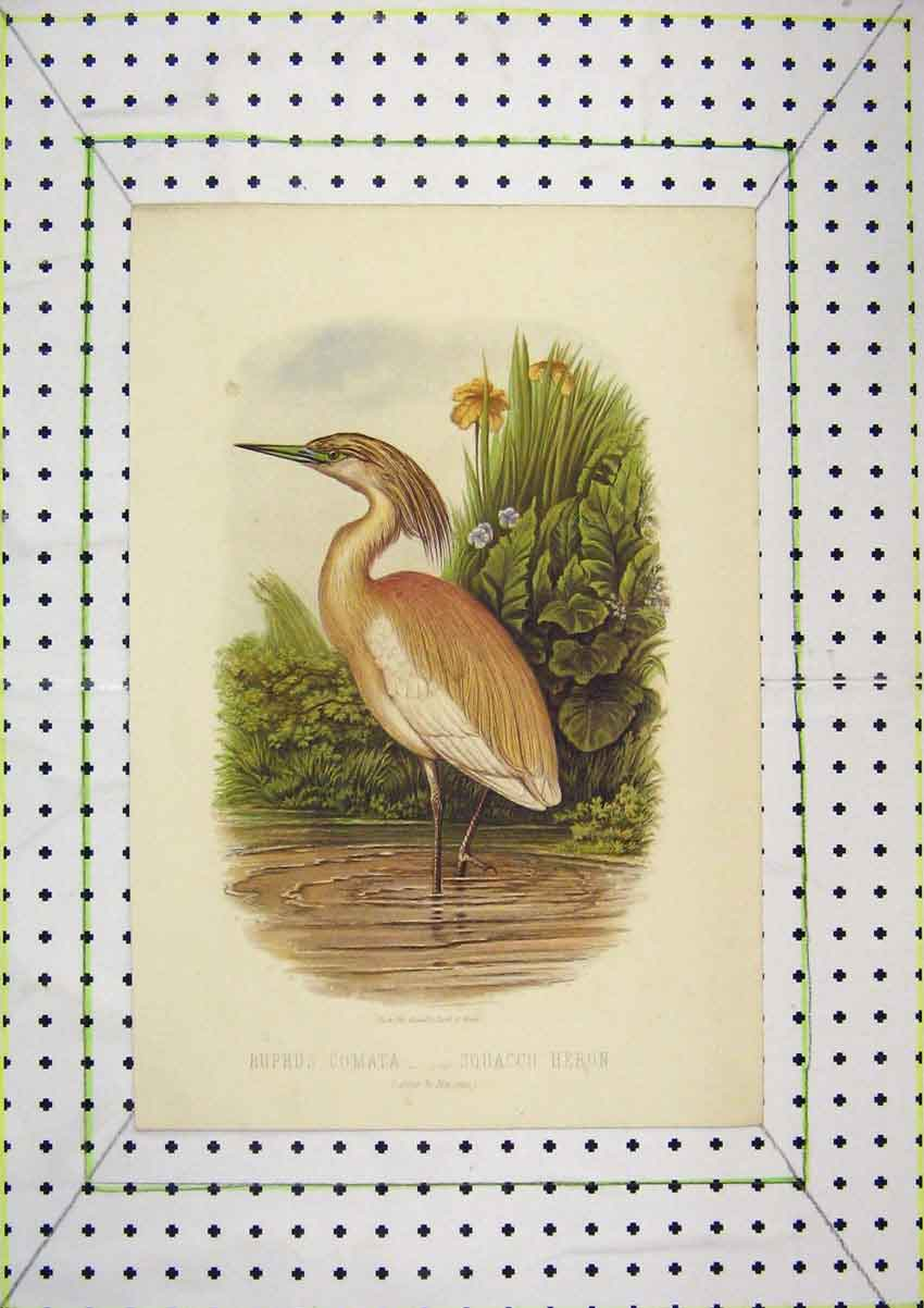 Print Colour Squacco Heron Bird Buphos Comata Nature 220B204 Old Original