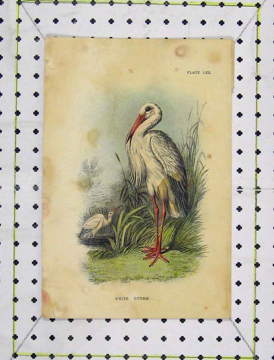 Print C1850 Colour White Stork Wild Bird Nature 164B219 Old Original