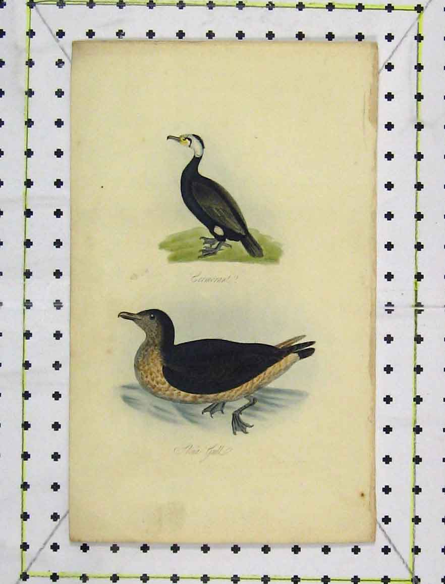Print C1850 Colour Bird Skua Gull Cormorant Nature 168B219 Old Original