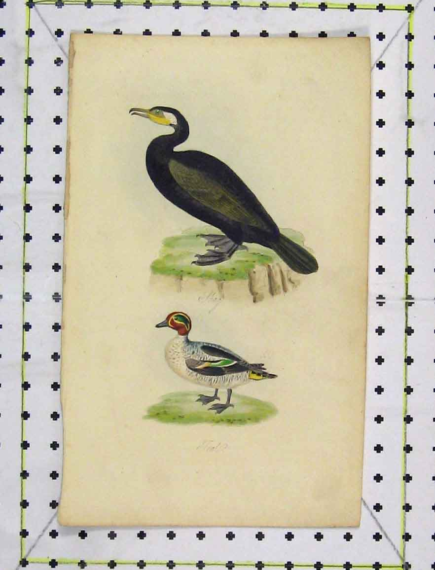 Print C1850 Wild-Life Birds Nature Colour Shag Teal 169B219 Old Original