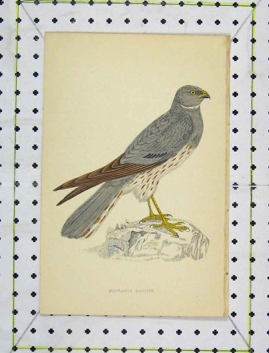 Print C1850 Colour Montagu'S Harrier Bird Wild-Life 170B219 Old Original