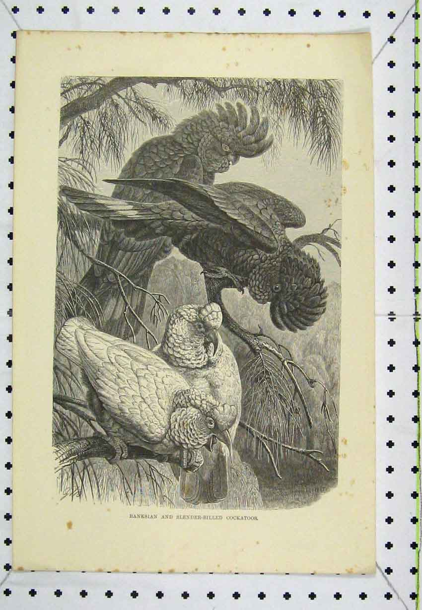 Print Banksian Slender-Billed Cockatoos Birds C1850 Engraving 193B220 Old Original