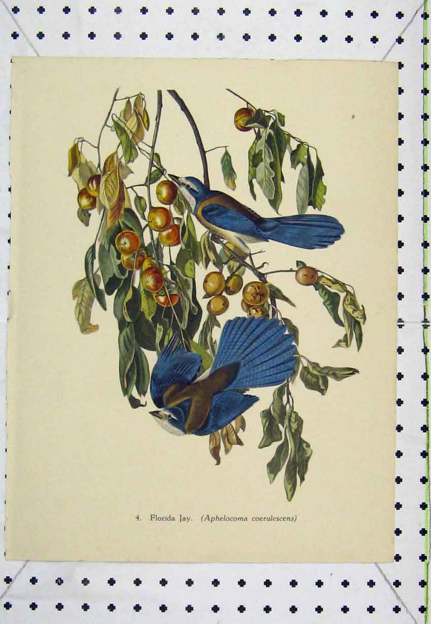 Print C1850 Colour Florida Jay Wild Bird Nature Berries 212B220 Old Original