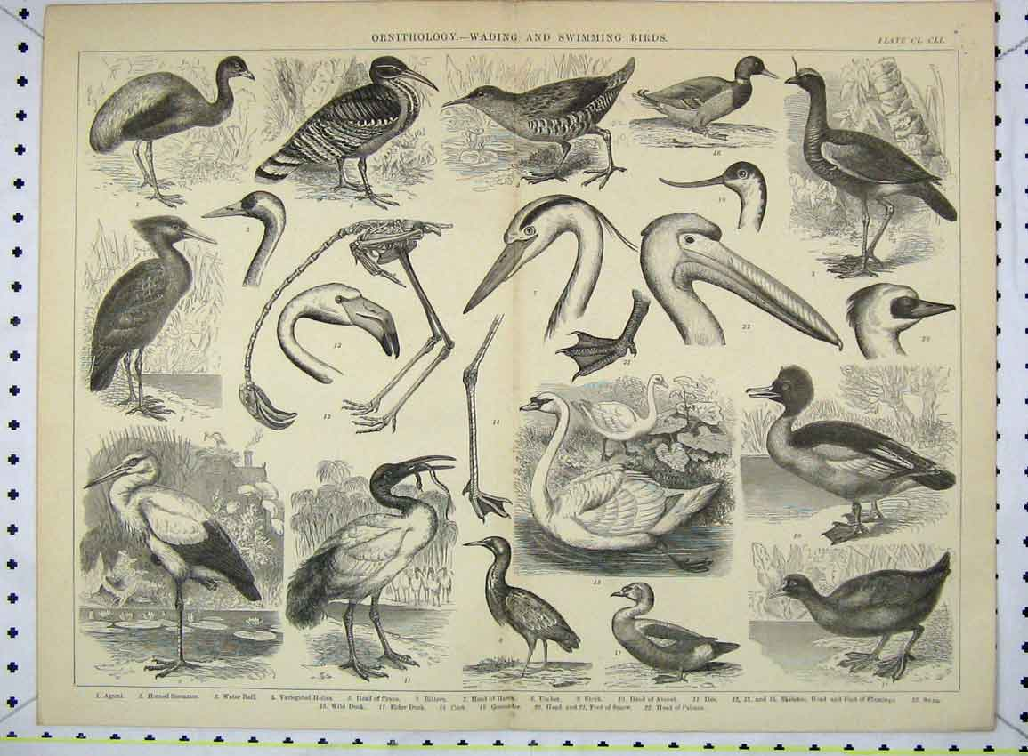 Print Ornithology Wading Swimming Birds Heron Duck Crane 204B228 Old Original