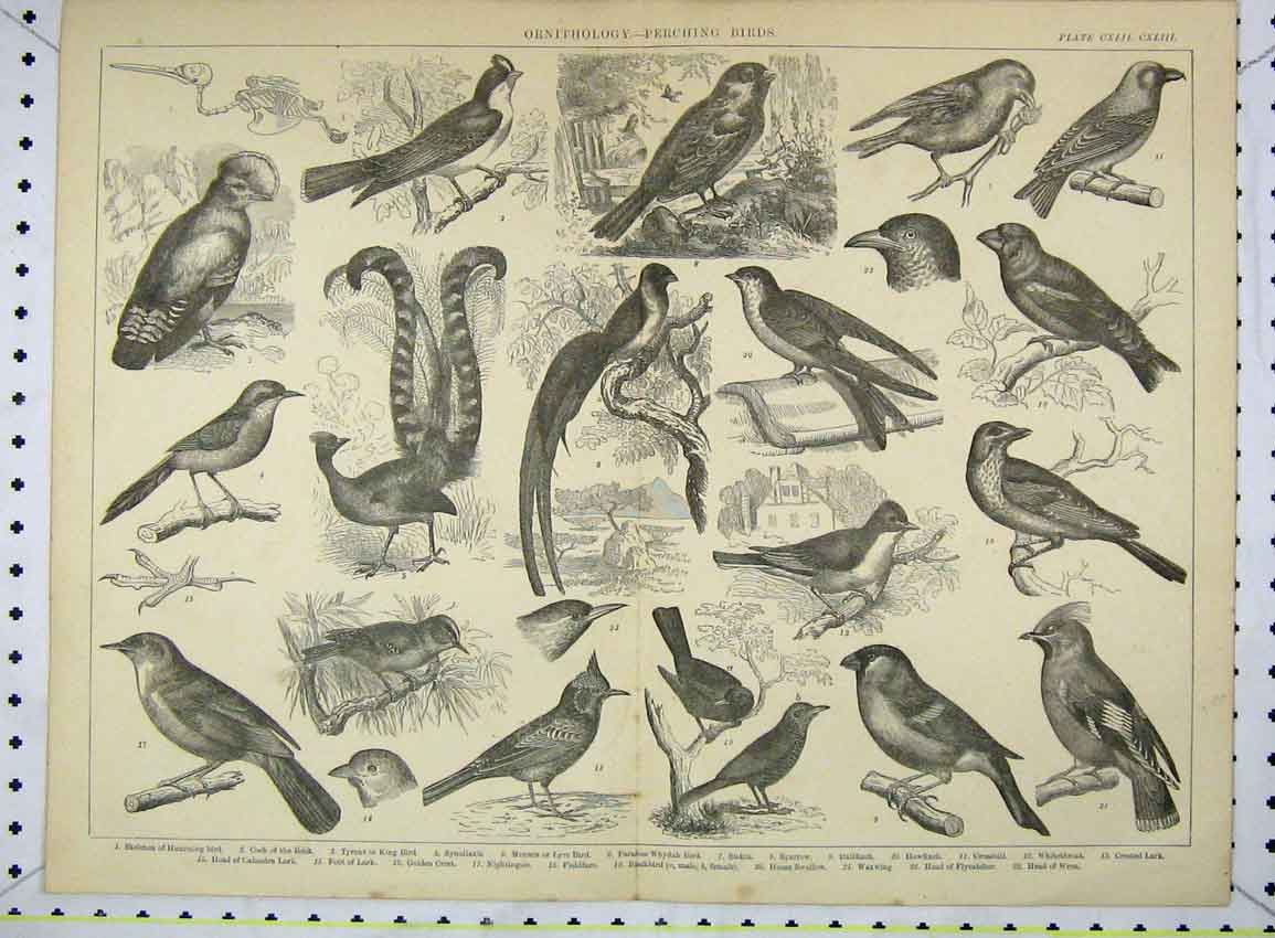 Print Ornithology Perching Birds Sparrow Crossbill Humming 225B228 Old Original