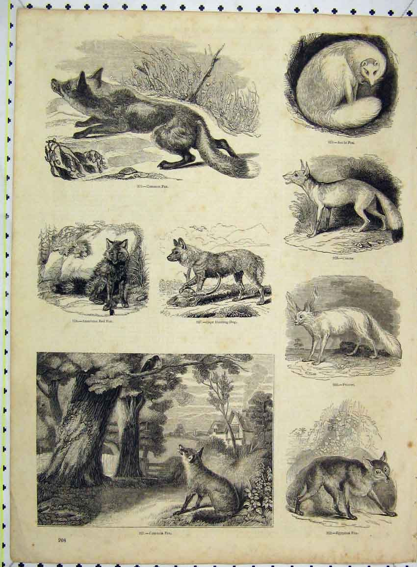 Print Egyptian Fox Caama Fennec Hunting Dog American 230B228 Old Original