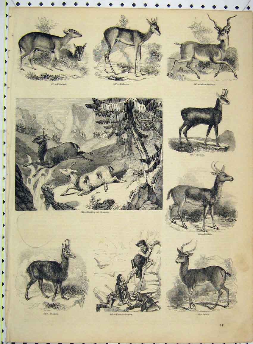 Print Chamios Hunters Pallah Indian Antelope Madoqua 248B228 Old Original