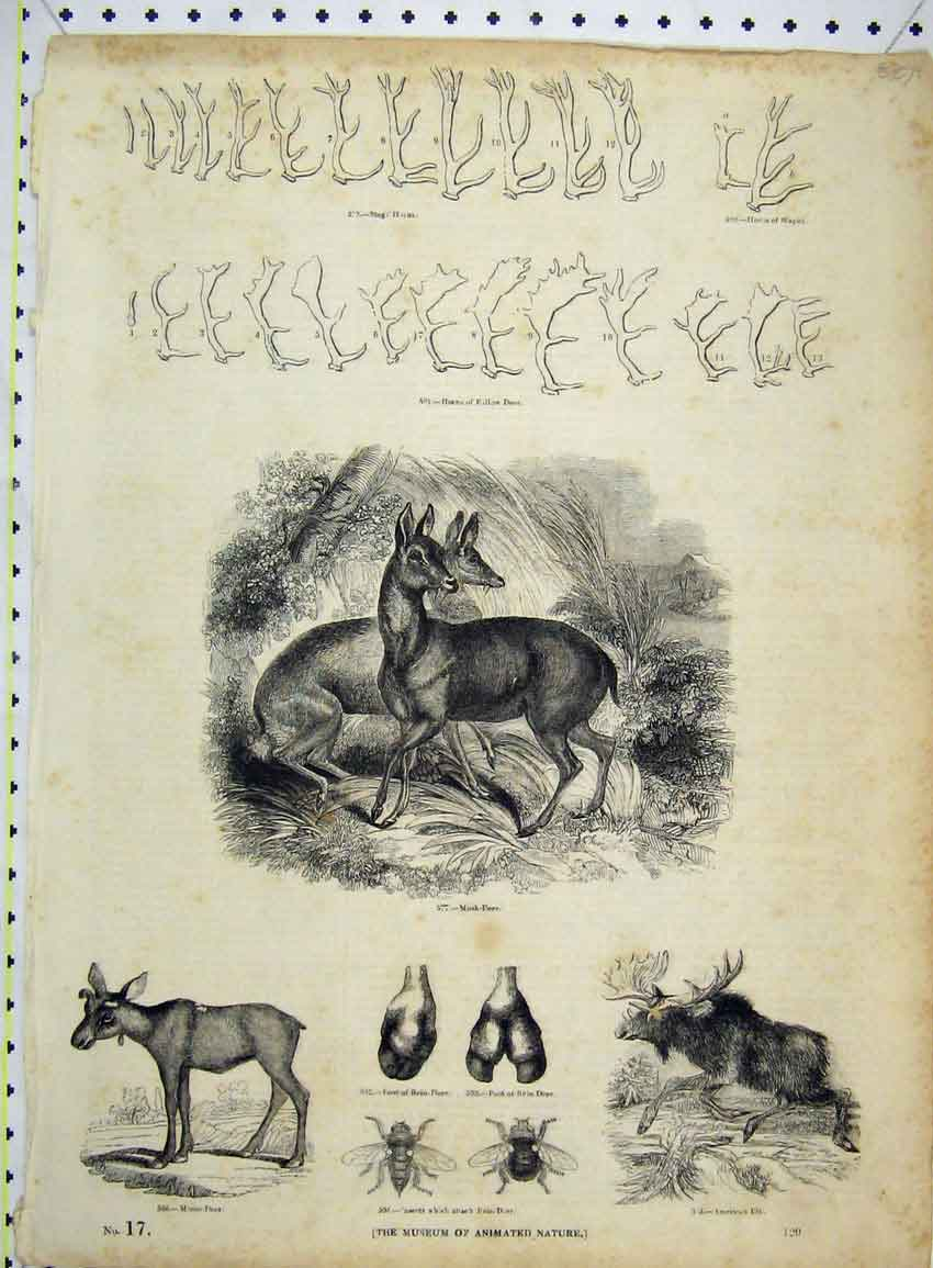 Print American Elk Horns Fallow Deer Musk Moose Insects 250B228 Old Original
