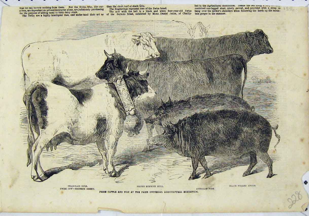 Print Prize Cattle Pigs Paris Universal Agricultural 228B246 Old Original