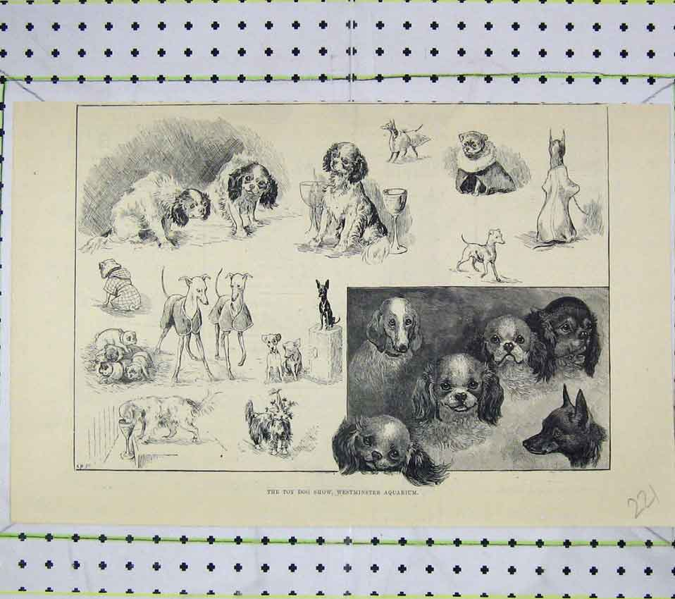 Print Toy Dog Show Westminster Aquarium 221B247 Old Original