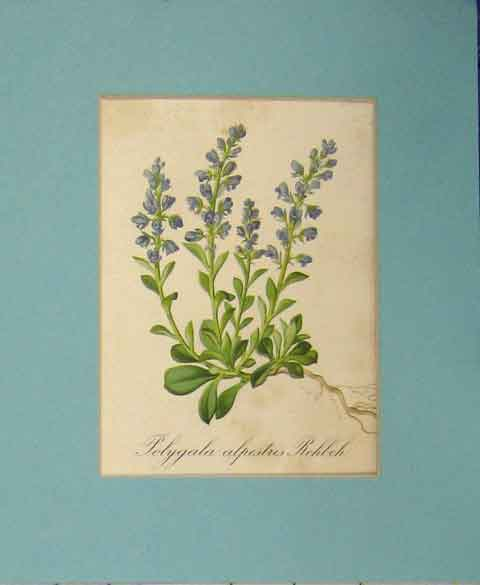 Print 1820 Flower Campanula Cenisia Art 109B255 Old Original