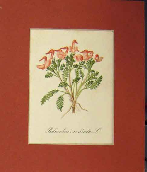 Print 1820 Colour Pedicularis Rostrata Flower 110B255 Old Original