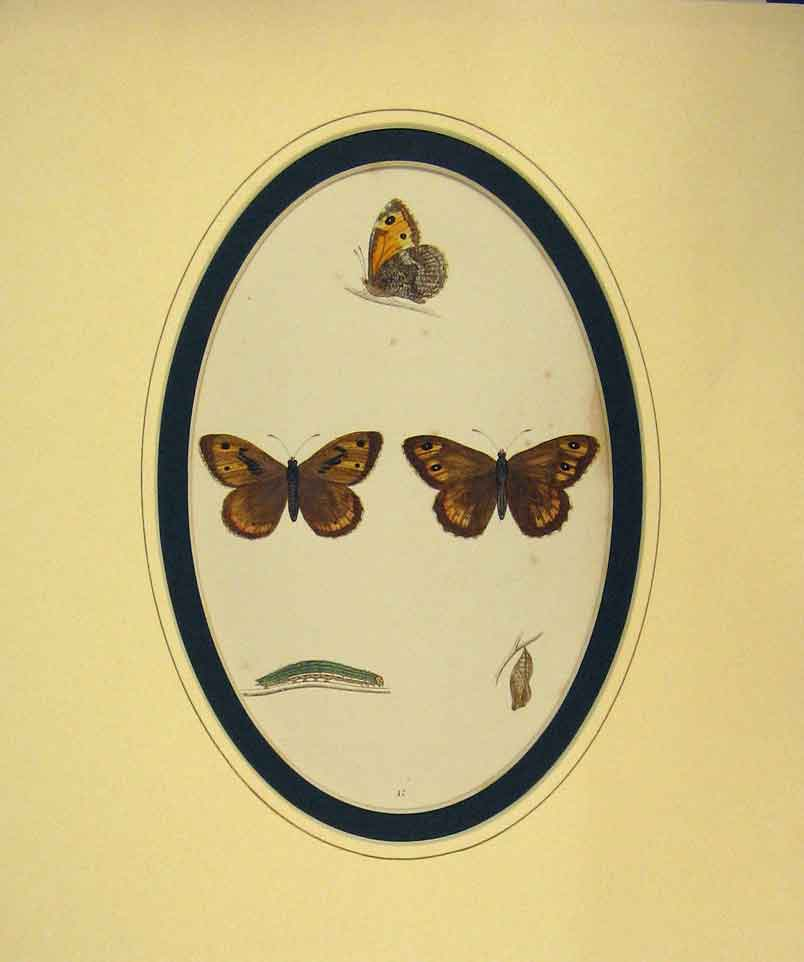 Print 1860 Hand Coloured Butterfly Rock Eyed Underwing 214B262 Old Original