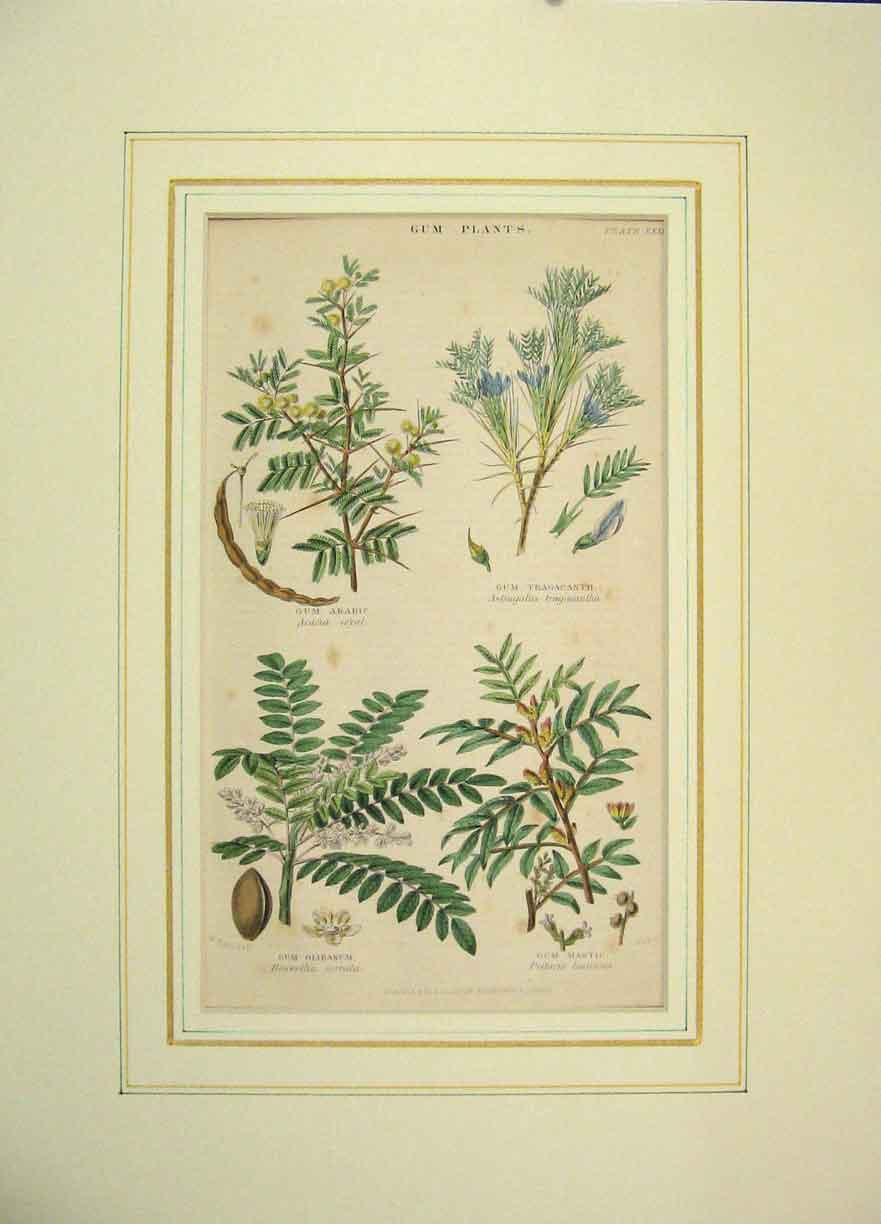 Print Hand Coloured 1850 Gum Plants Arabic Olibanum 304B264 Old Original