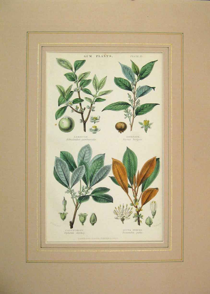 Print 1855 Hand Coloured Gum Plants Benzoin Gamboge Percha 316B264 Old Original