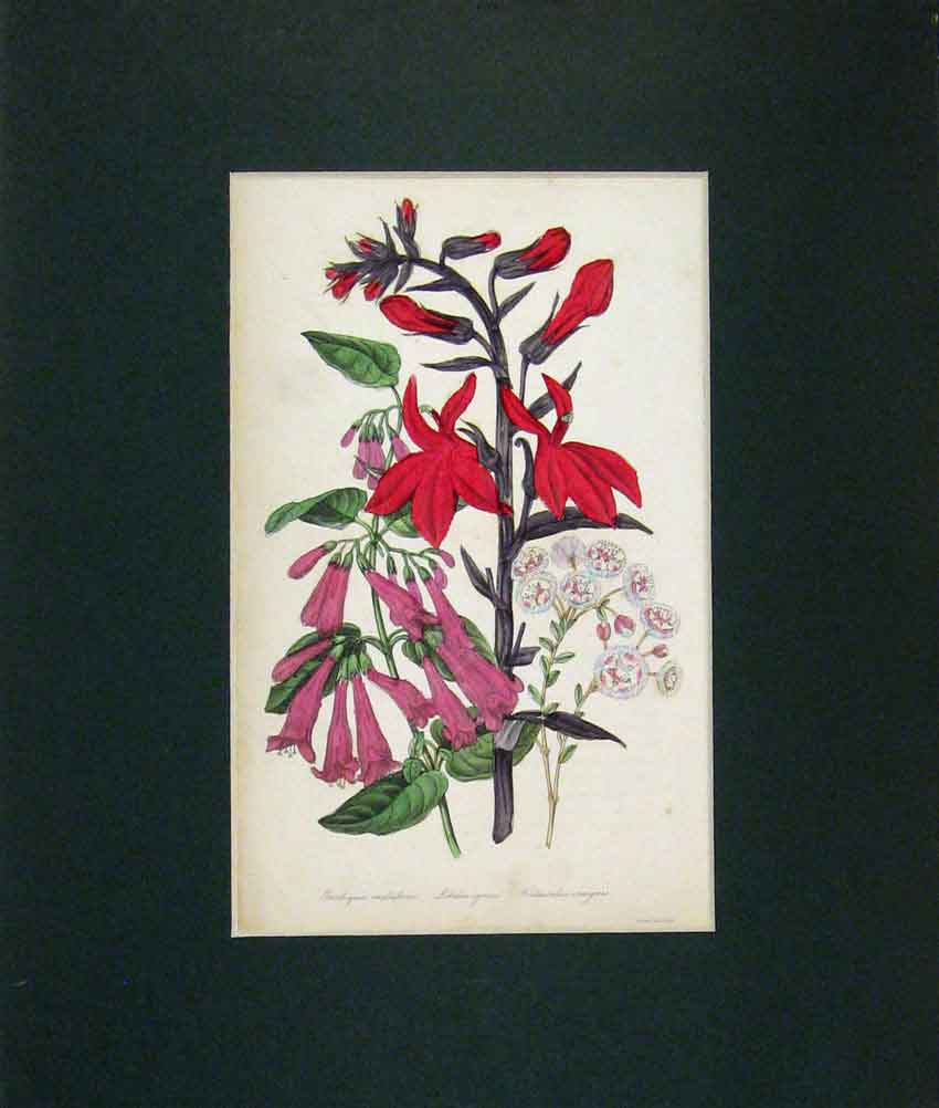 Print 1845 Hand Coloured Multiflora Flowers Lobelia 502B271 Old Original