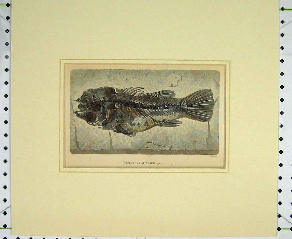 Print C1830 Fish Bones Cyclopoma Spinosum 404B272 Old Original