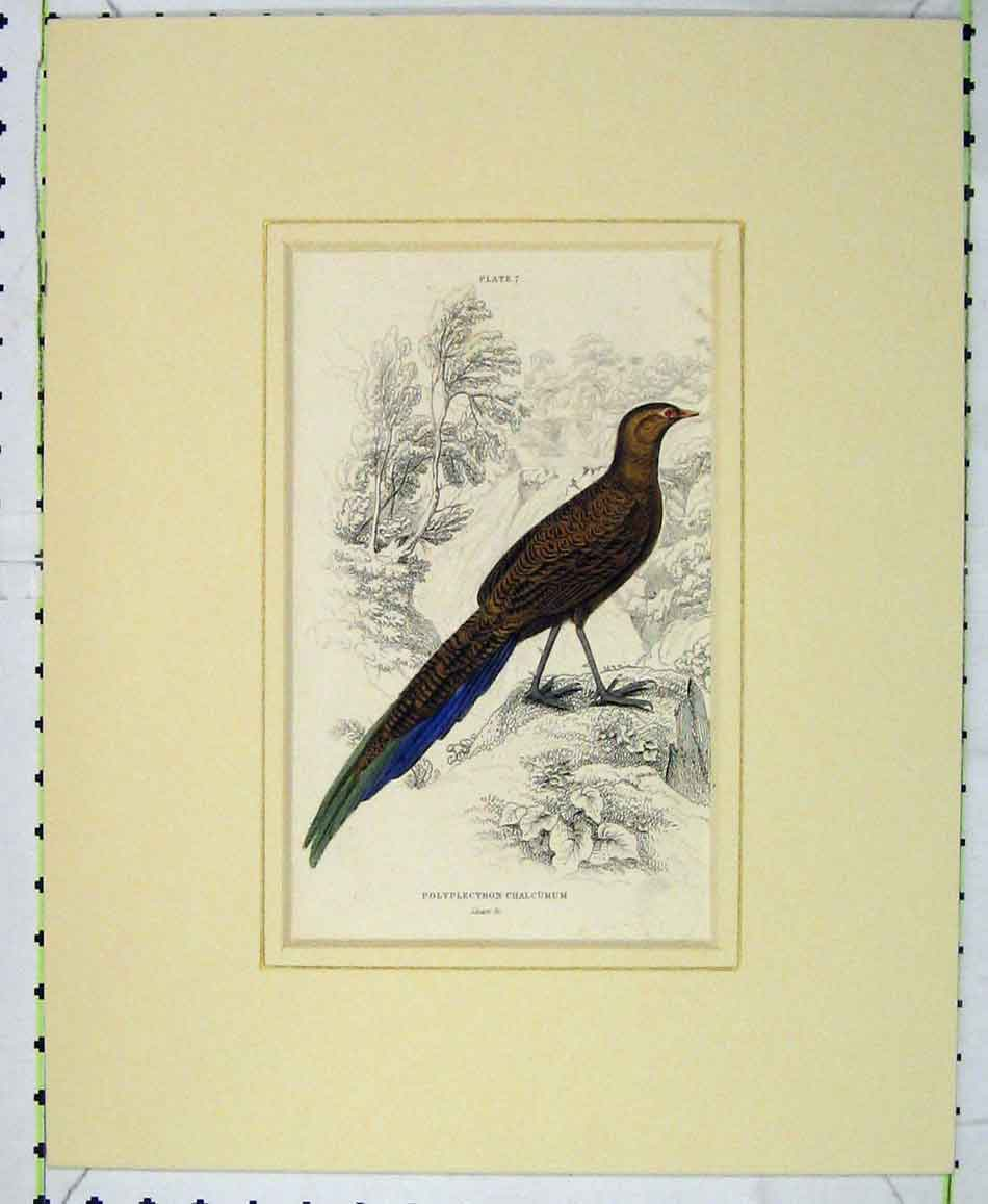 Print 1835 Hand Coloured Bird Polyplectron Chalcurum Lizars 407B272 Old Original