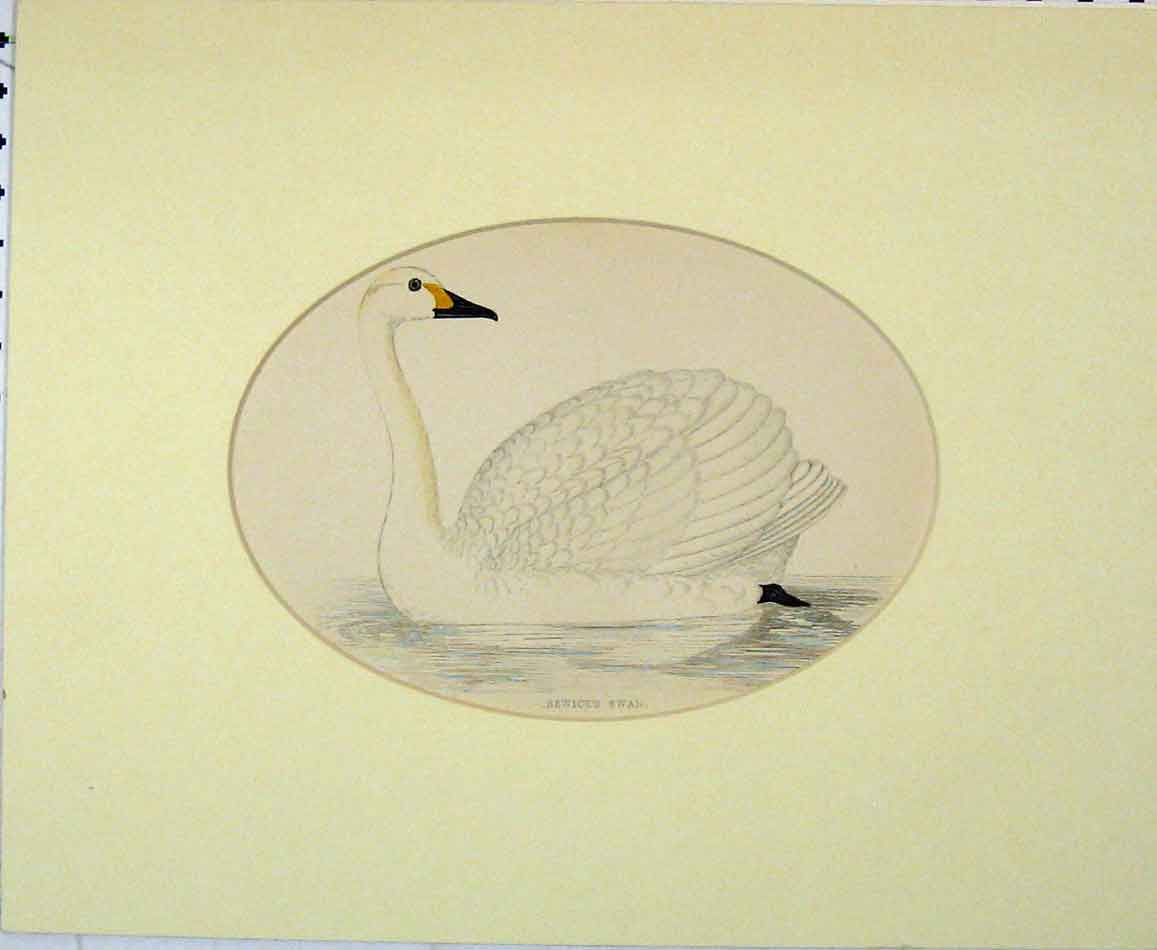 Print Hand Coloured Bewick'S Swan White Bird 1870 410B272 Old Original
