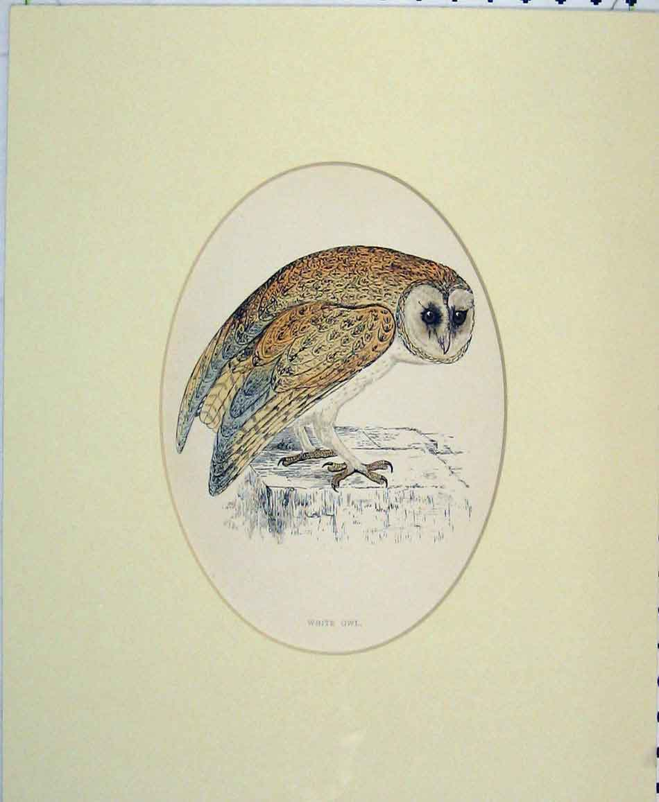 Print 1870 Hand Coloured Bird Prey White Owl 414B272 Old Original