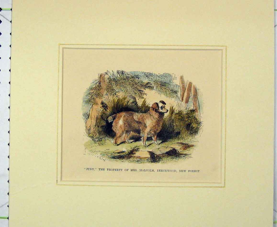 Print 1870 Hand Coloured Dog Judy Malcolm Beechwood Forest 418B272 Old Original