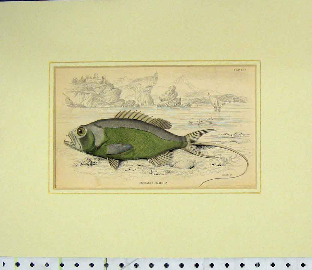 Print Fish Hand Coloured 1835 Serranus Phaeton Lizars 414B277 Old Original
