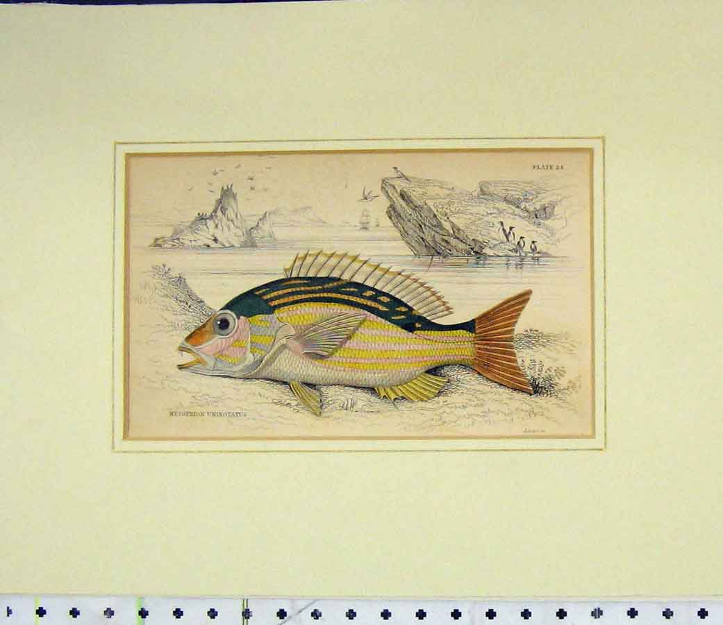 Print Hand Coloured Fish 1835 Mesoprion Uninotatus 417B277 Old Original