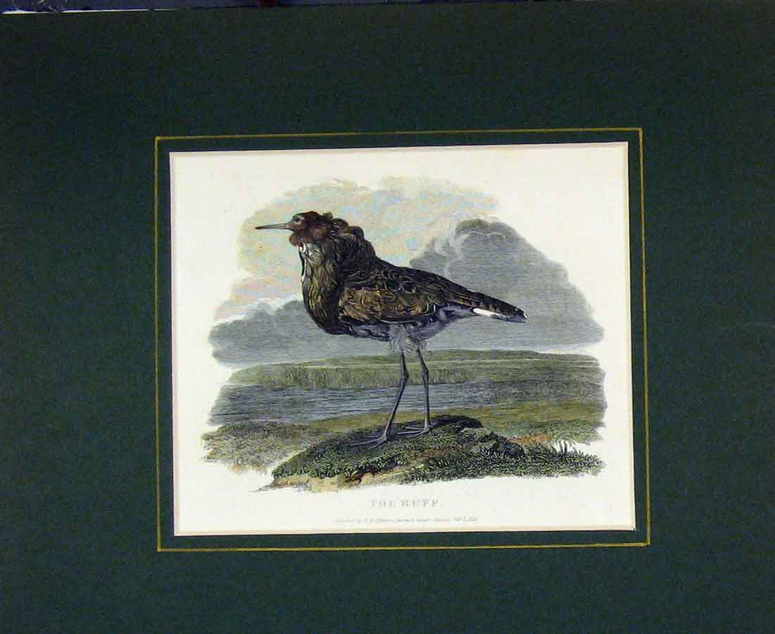 Print 1833 Hand Coloured Bird Ruff Country Scene 425B281 Old Original