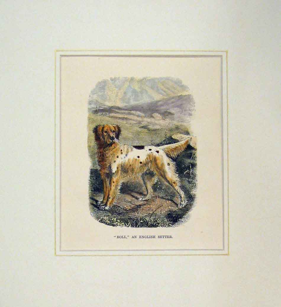 Print 1870 Hand Coloured Dog Roll English Setter 101B286 Old Original
