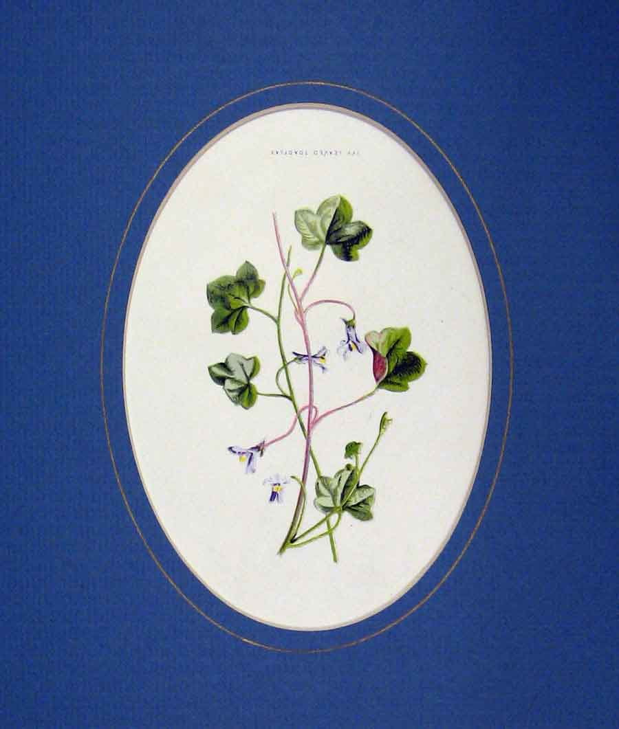 Print Colour 1890 Flower Ivy Leaved Toadflax Nature 102B288 Old Original