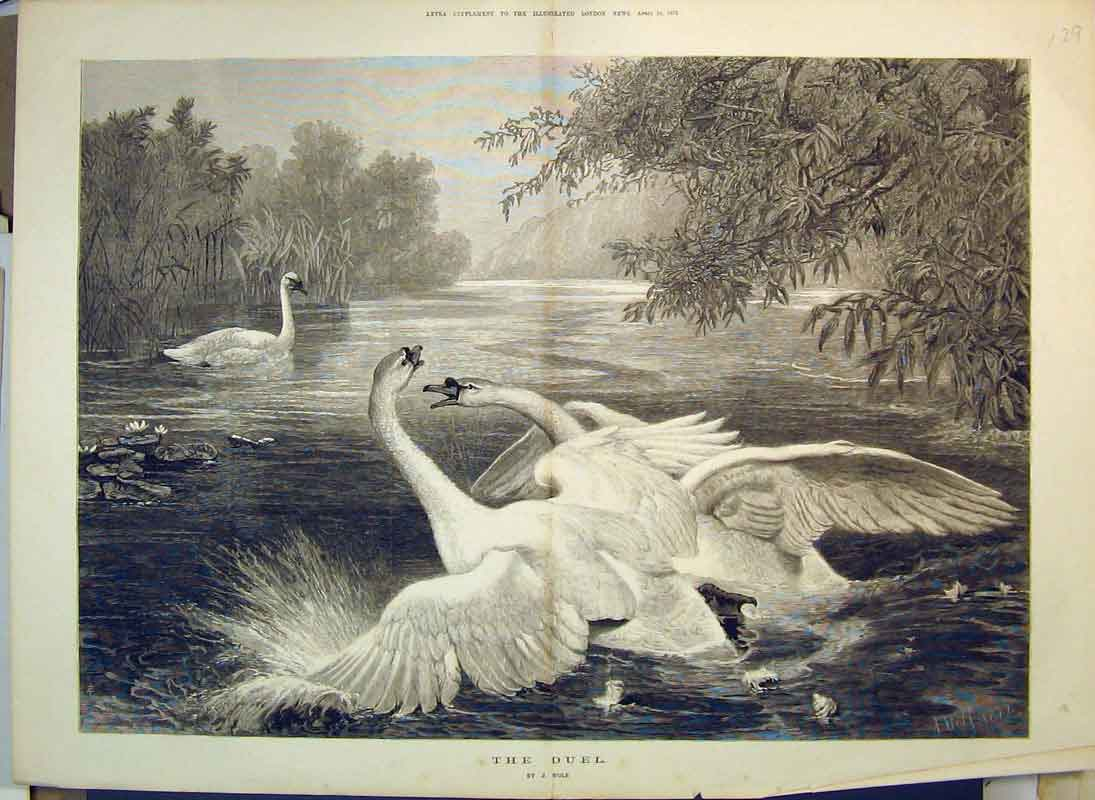 Print 1875 River Scene Swans Fighting Grass Trees Anmals 129B350 Old Original