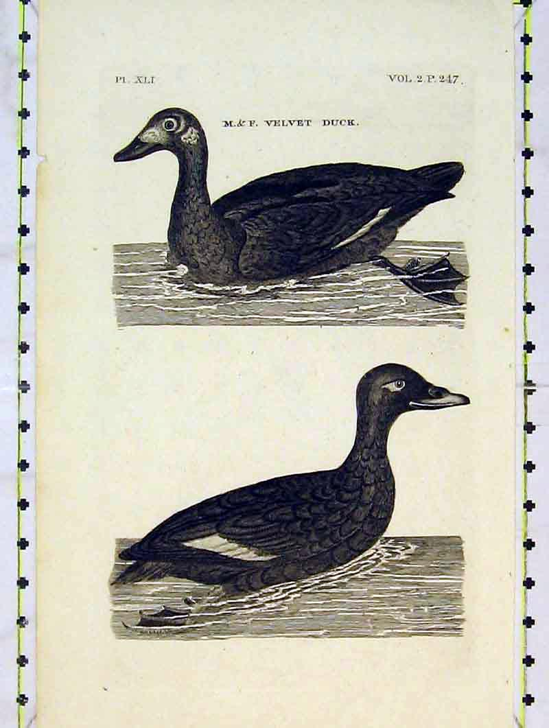 Print Velvet Duck Birds Nature Animals River 219B376 Old Original