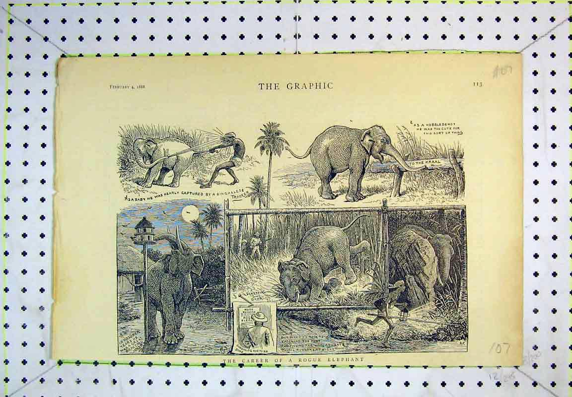 Print 1888 Elephant Singhalese Tracker Comedy Africa 107B380 Old Original