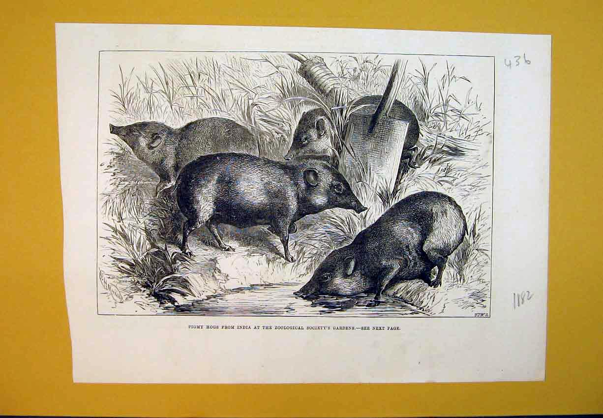 Print 1882 Pigmy Hogs India Zoological Society Gardens Animal 436B388 Old Original