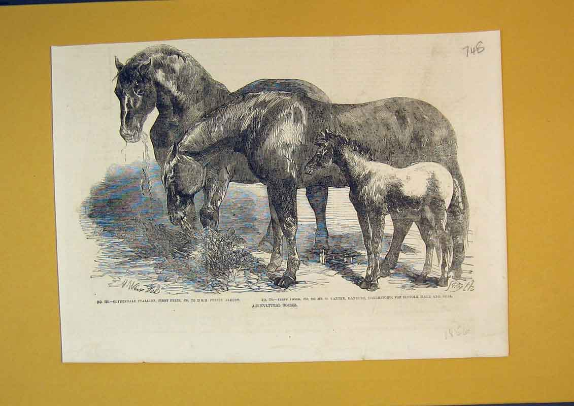 Print 1856 Agricultural Horses Clydesdale Stallion Suffolk 748B390 Old Original
