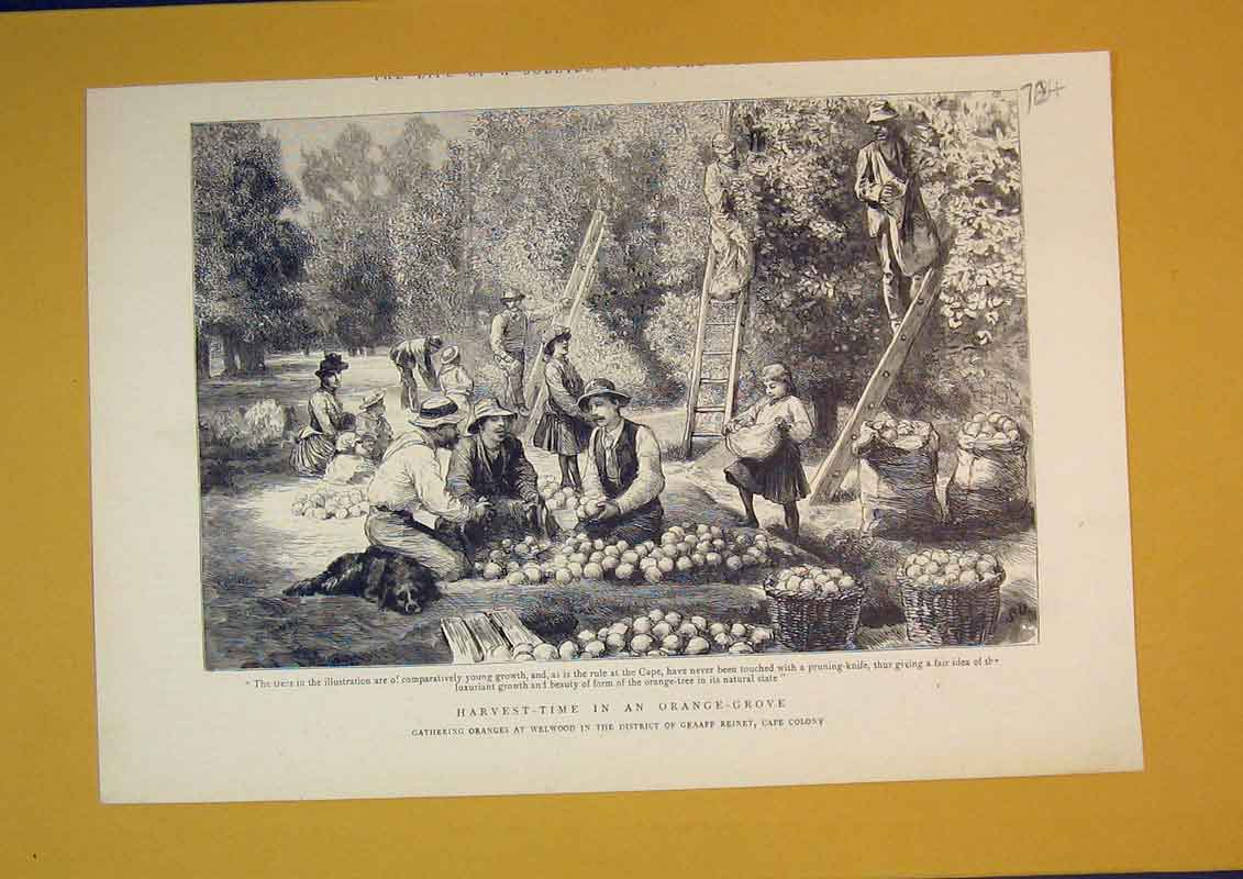 Print Scene Harvest-Time Orange Grove Fruit Trees Baskets 784B390 Old Original