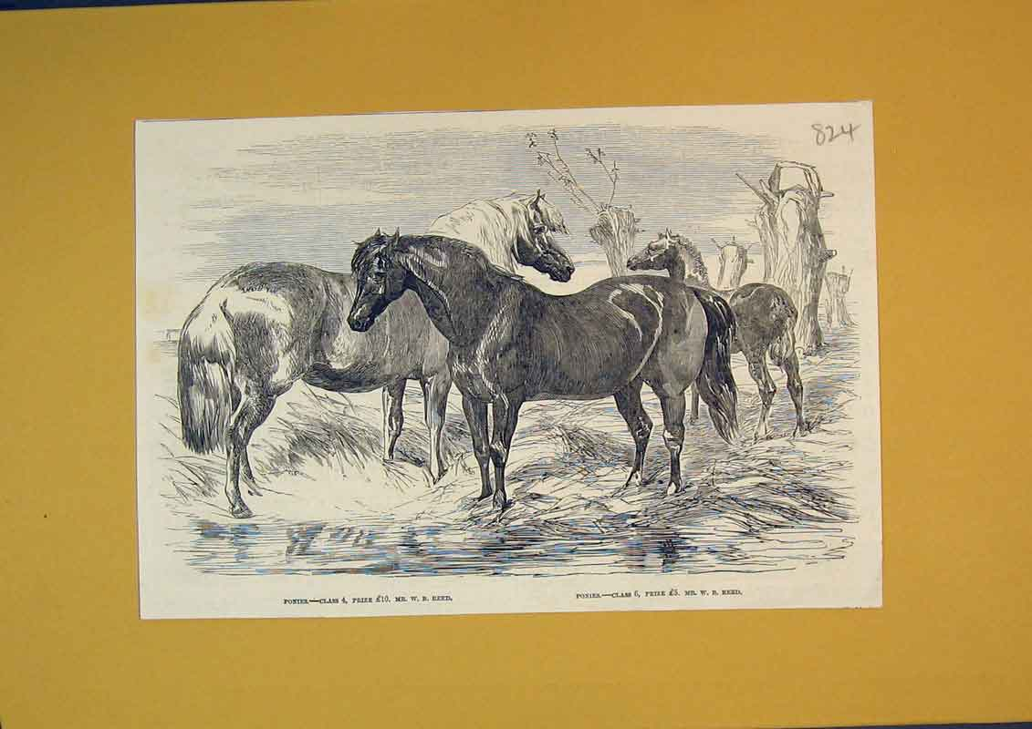 Print Prize Horses Ponies Animals Country Scene 824B390 Old Original
