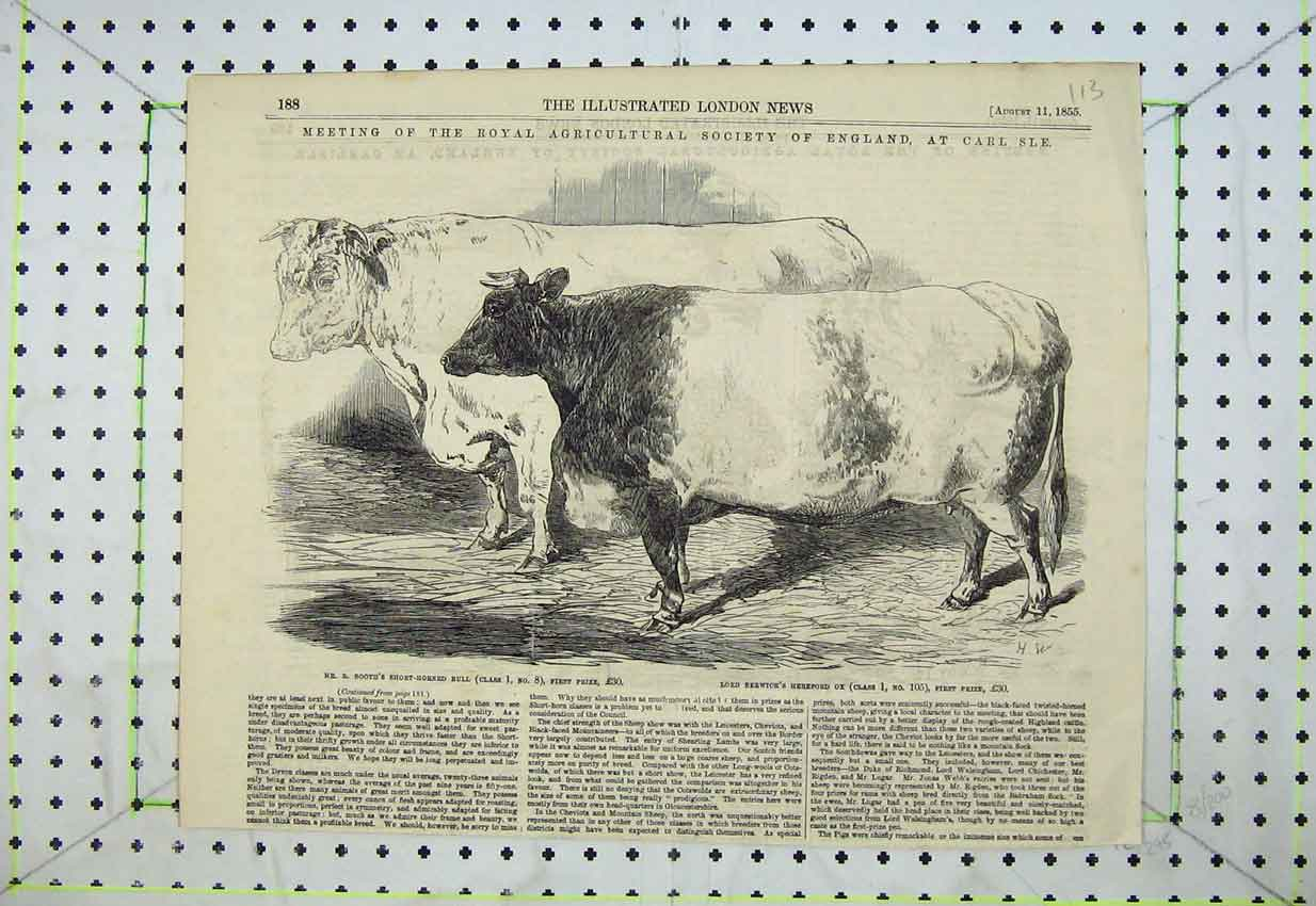 Print 1855 Agricultural Show Carlisle Bull Cattle Hereford Ox 113B399 Old Original