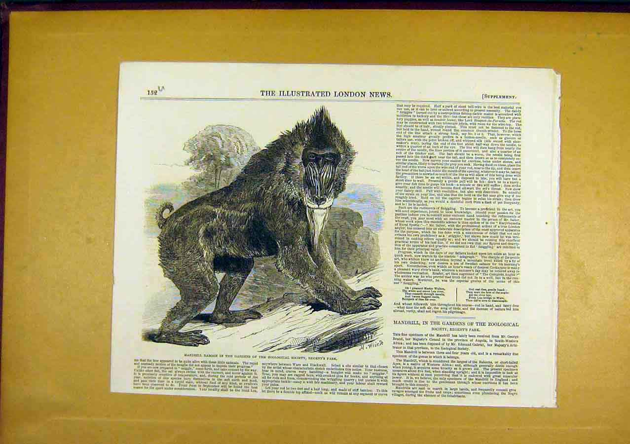 Print Mandrill Baboon Zoo Animal 1850 Monkey 52Uccc0 Old Original
