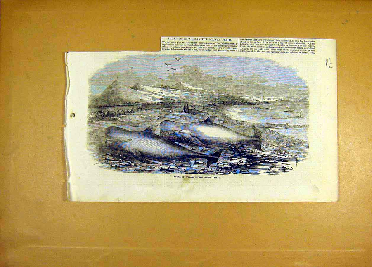 Print Shoal Whales Solway Firth Mammals Animal 1855 13Lccc0 Old Original