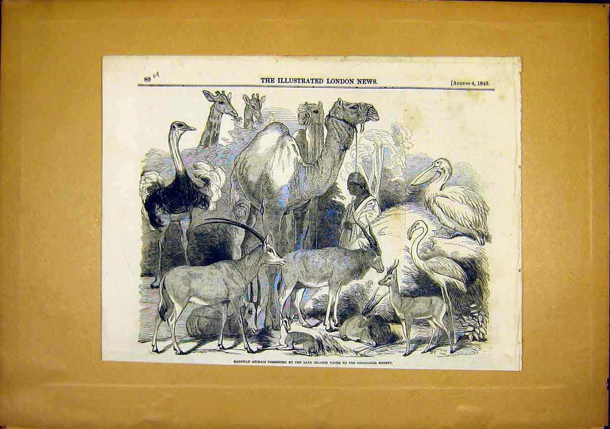 Print Egyptian Animals Abrahim Pacha Zoological Society 1849 80Uccc1 Old Original