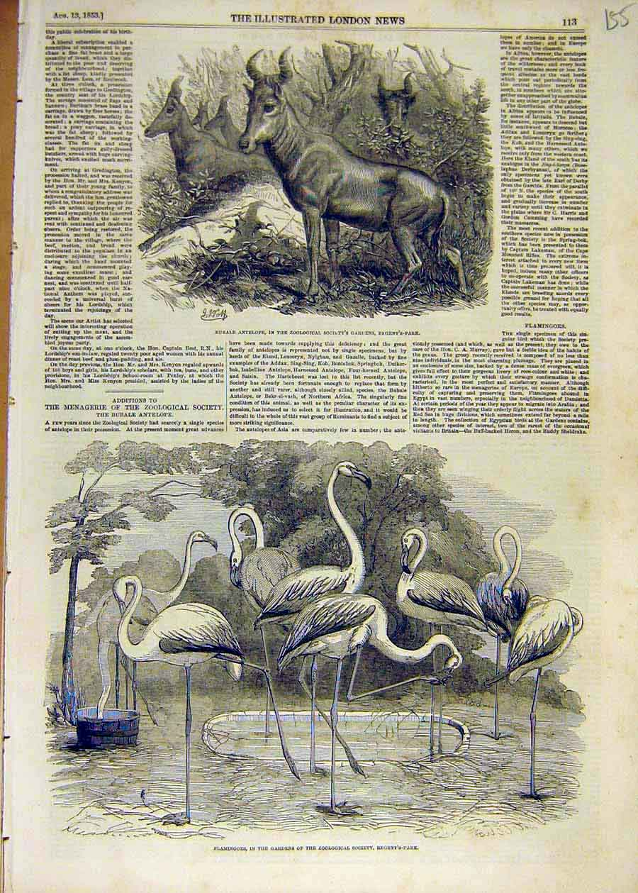 Print 1853 Bubale Antelope Zoo Animal Flamingoes Birds 55Ccc1 Old Original