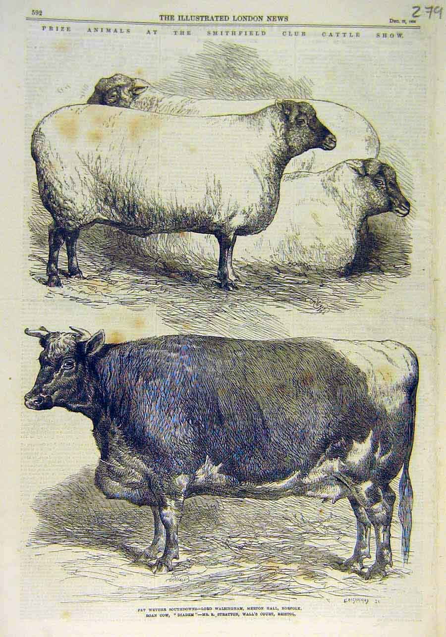 Print Smithfield Club Cattle Show Animals Southdown Cow 1866 79Ccc1 Old Original