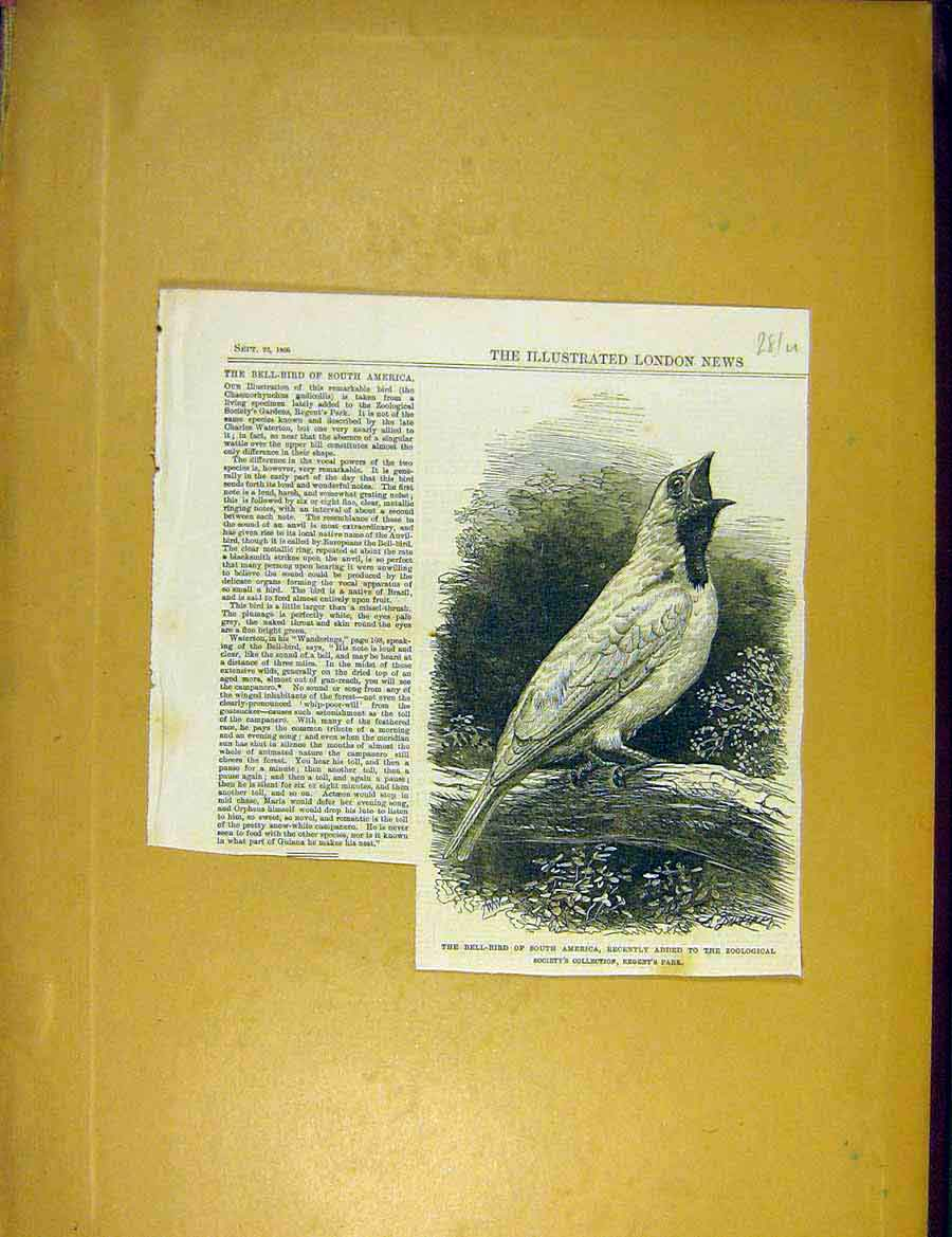 Print Bell-Bird South-America Zoo Animal 1866 81Uccc1 Old Original