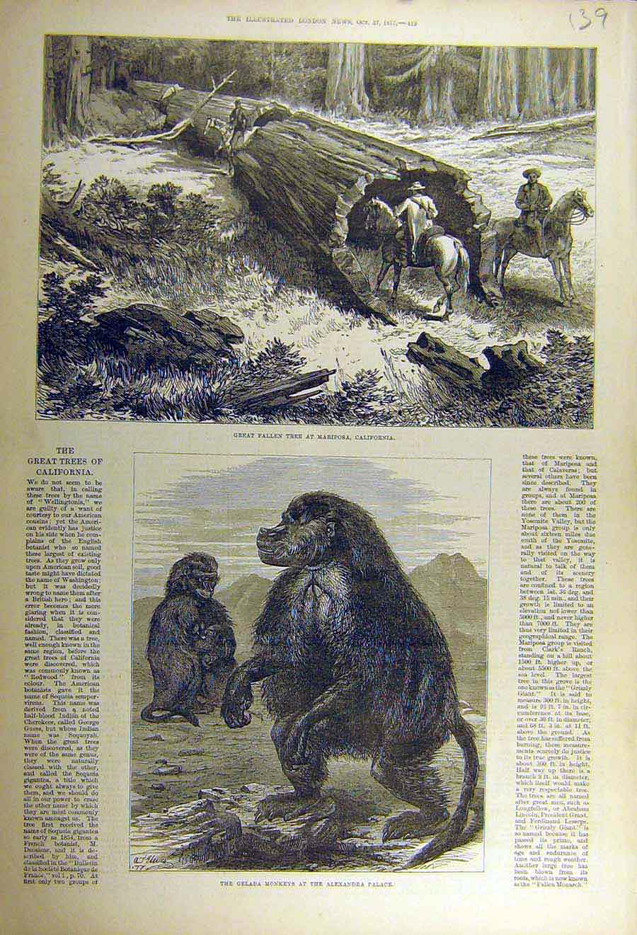 Print 1877 Tree Mariposa California Gelada Monkey Alexander 39Ccc1 Old Original