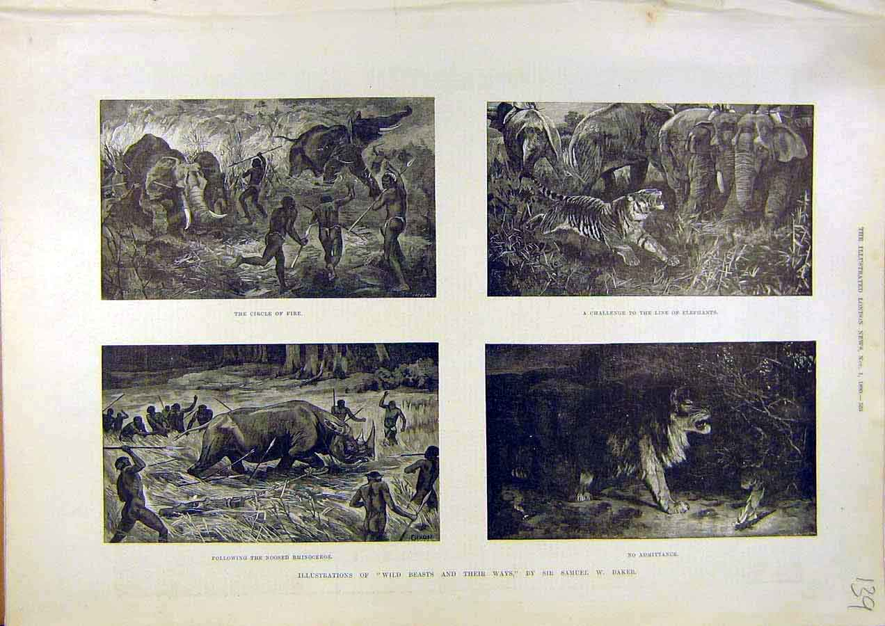 Print Wild Beasts Baker Sketches Elephants Lion Tiger 1890 39Ccc1 Old Original