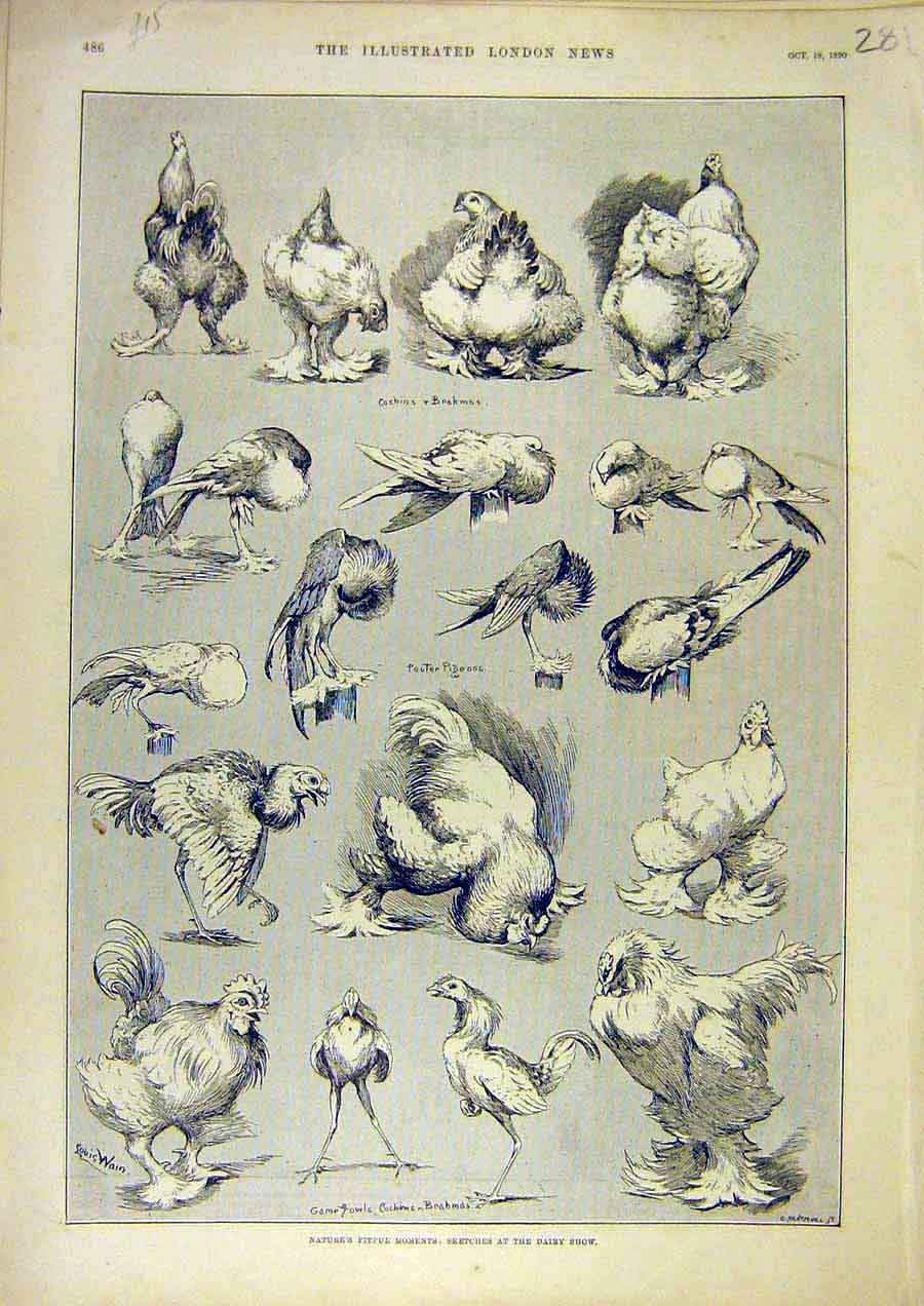 Print Nature Sketches Dairy Show Birds Chickens Poultry 1890 81Ccc1 Old Original