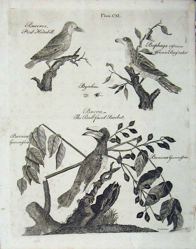 Print Encyclopaedia Britannica 1801 Birds Hornbill Barbet 101E101 Old Original